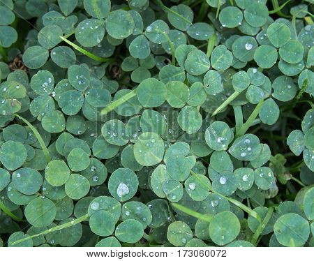 Green clover trefoil shamrock trifolium backdrop background wallpaper, natural with rain drops in cool tones