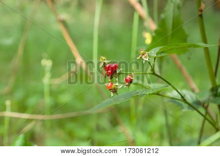 Red rowan berries hang on the branches of beams
