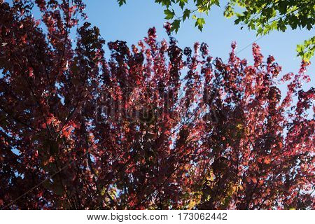 View of maple leaves on a sunny day