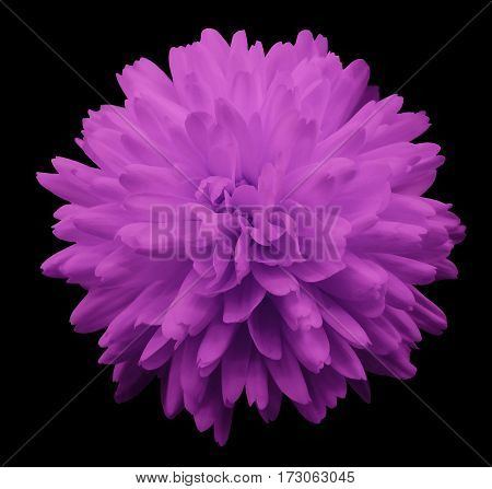 pink flower chrysanthemum. garden flower. black isolated background with clipping path. Closeup. no shadows. Nature.