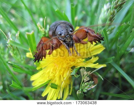 Insect - pest. This insect called a mole cricket.It is dangerous enemy for plants.Often it can be found in gardens and orchards.