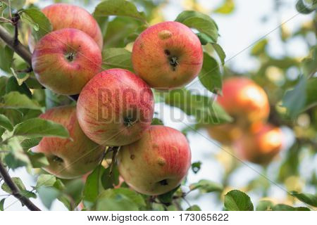 Tankers Red Ripe Apples On The Tree.