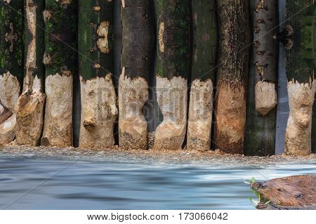 Focus on background. From Beaver gnawed tree trunks. Beaver at food intake swims in a lake.