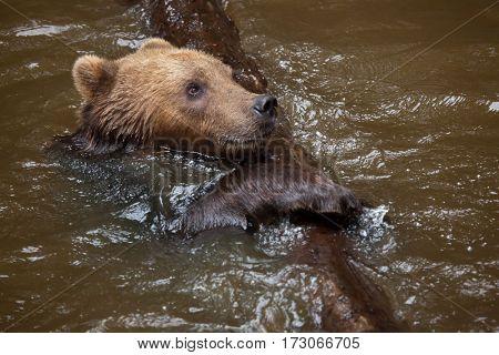 Kamchatka brown bear (Ursus arctos beringianus), also known as the Far Eastern brown bear swimming.