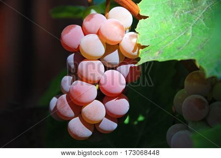Bunch of red grape on the branch