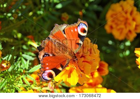 Butterfly On Tagetes Flower