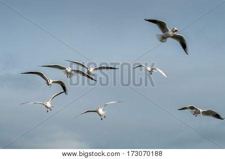 Black Headed Gulls in winter plumage. North Sunderland Harbour Seahouses Northumberland England UK: February 20 2016.