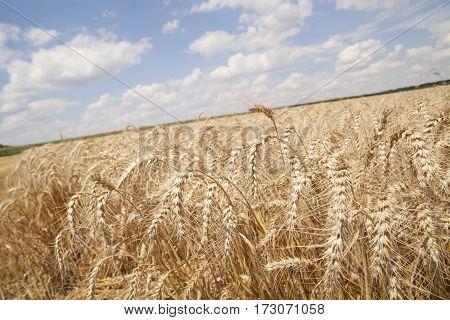 golden grain field and blue cloudy sky
