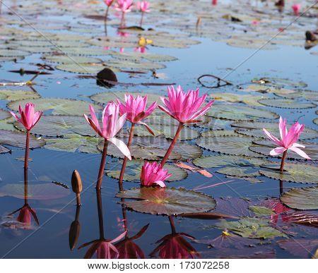 Lake of pink lotus, Nong Han, Udon Thani, Thailand