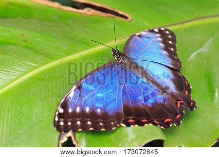 Owl Butterfly with wings extended so the vibrant Blue Colour is visible resting on a green veined leaf