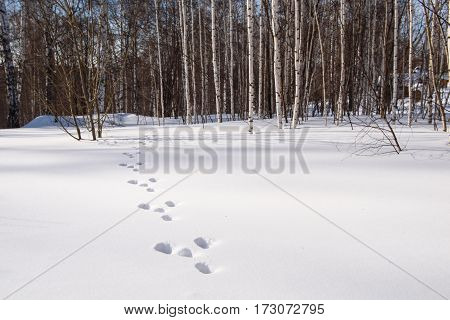Next the hare in the snow in the winter forest