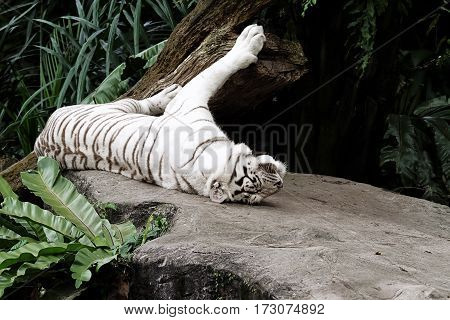 Albino Bengal tiger lying down wildlife mammal