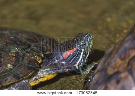 Image Of Red-eared Slider Turtle.