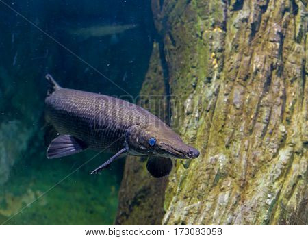 Alligator Gar Fish In Aquarium Tank