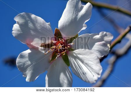 Delicate almond flower on a background of blue sky