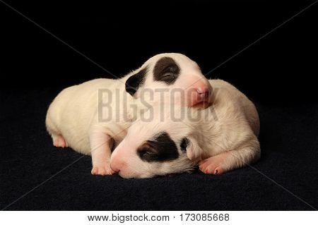 Miniature Bull Terrier Puppies, 10 days old, lying in side over black background