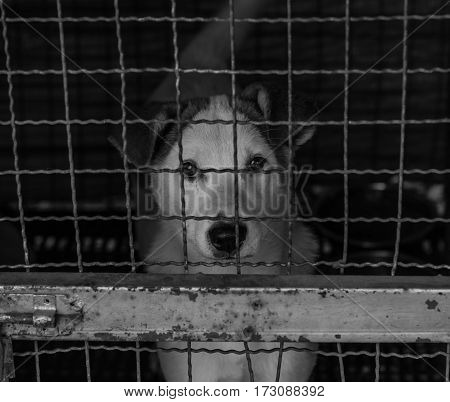 black and white image of stray dog in cage .