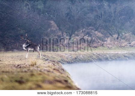 Fallow Deer Stag Standing Near Misty Lake.