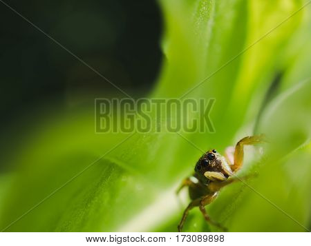 Macro of jumping spider on the leaf wait prey and selective focus.