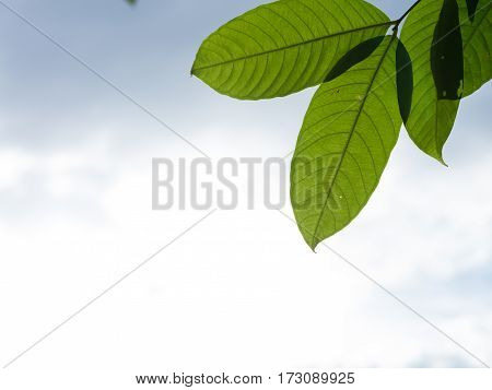 Leaves on blue sky and white cloud background.