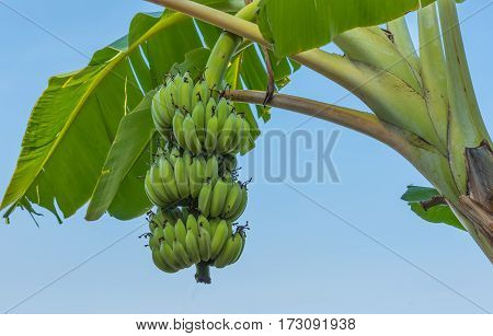 image of Cultivated banana with blue sky.