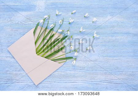 fresh snowdrops flowers in a envelope on the blue wooden background