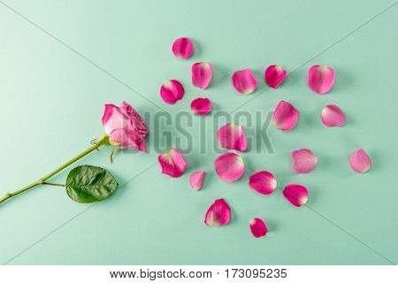 Top view of beautiful pink rose flower with green leaf and petals on blue Spring floral composition