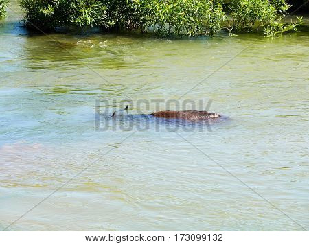 Water buffalo in a river nearly completely covered with water completely awash underwater