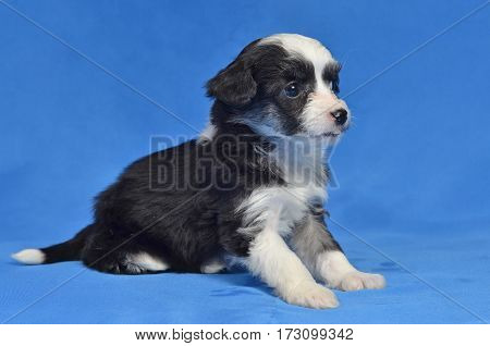 Purebred puppy lies quietly on a blue background
