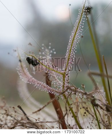 Drosera capensis plant with fly catched, selective focus