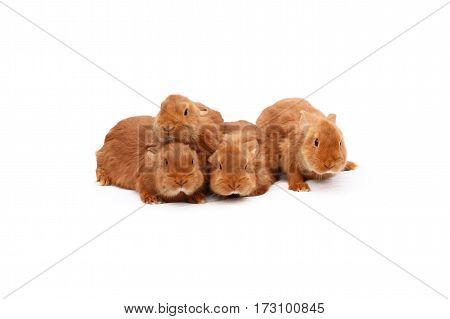 New Zealand purebred red baby rabbits on white tablecloth
