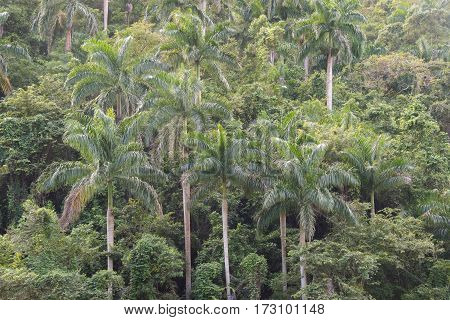 Royal Palm Tree Vegetation In Hanabanilla Natural Reserve-cuba