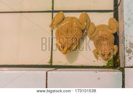 East Asian Bullfrog Tadpole In Pond