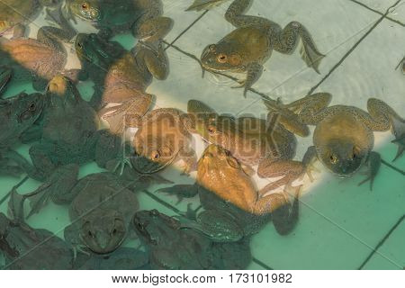 image of American Bullfrog in pond .