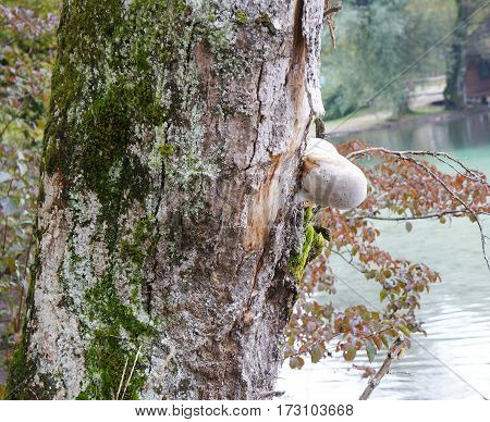 The Birch fungus in the autumnal forest