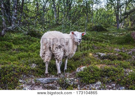 Sheep in forrest in mountains of Scandinavia