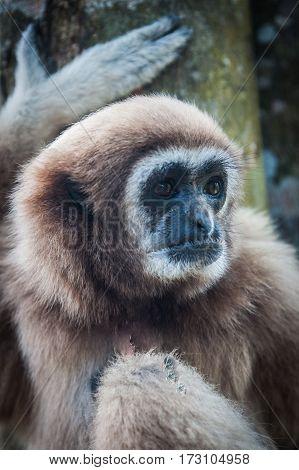 Little Brown Gibbon, Koh Samui, Thailand