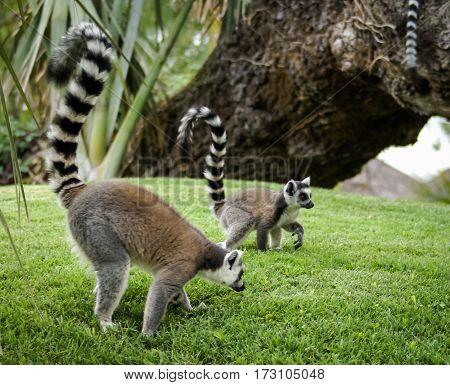 Lemurs, Valencia, Spain