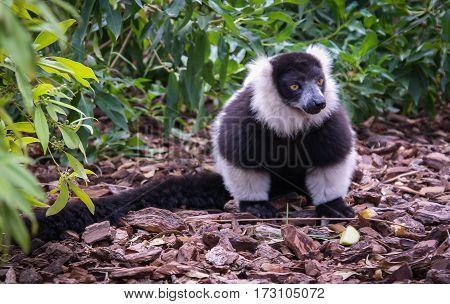 Black And White Lemur, Spain