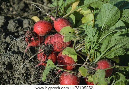 Autumn harvest of green and red radish