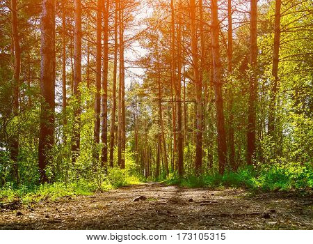 Forest spring landscape - row of pine forest trees and narrow path under spring bright sunlight. Forest spring nature landscape in sunny spring weather. Pine forest in spring season, spring forest landscape