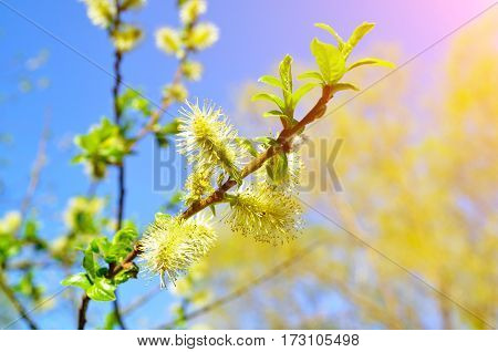 Spring background - yellow fluffy buds of willow on the background of the blue sky under sunshine. Spring background of spring nature. Focus at the central buds. Shallow DOF. Spring background with spring willow under spring sunshine