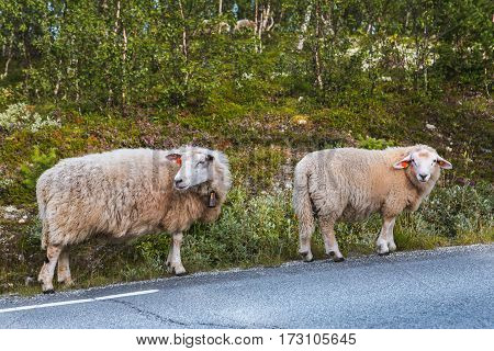 Two sheep on road in mountains of Scandinavia in summer