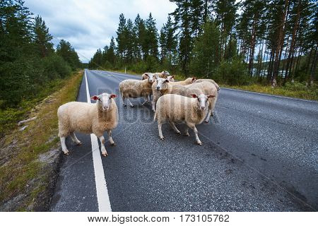 Flock of sheep on road in mountains of Scandinavia in summer