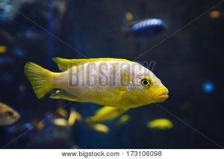 A aquarium fish on the dark background