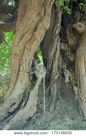 Sacred Monkey Of India (langur) In The Roots Of A Millennial Tree