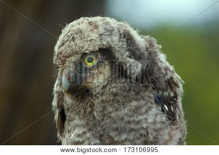 Cute fluffy owlet looking at the viewer with their yellow eyes. Portrait poster