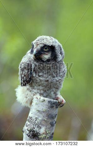 Cute Fluffy Owlet