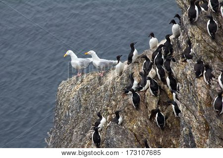 Rookery On Rocks In Novaya Zemlya Archipelago. Thick-billed Murres And Glaucous Gulls