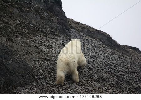 White bear deftly scampers up side of mountain after shot which drove frightened travelers 1